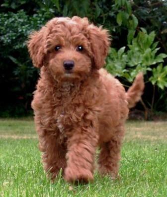 Australian Labradoodles, Australian Labradoodle Puppies, Australian Labradoodle…
