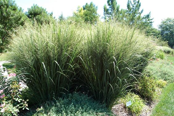 fountain grass garden grasses ornamental grasses and articles on pinterest