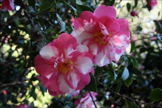 The Filoli estate in Woodside, California has a large variety of camellias on…