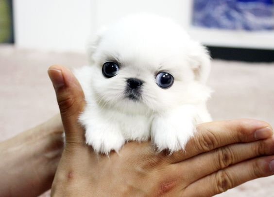 Smallest Toy Dog Breeds List : Smallest teacup dog breeds animals are made to love