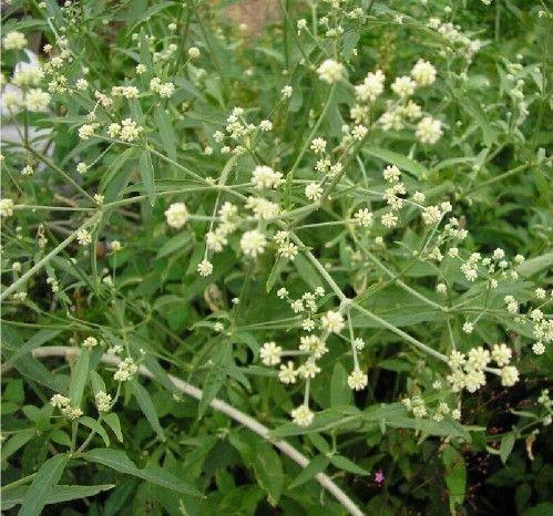 Pfaffia paniculata (Suma?)