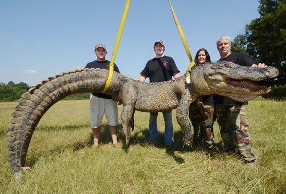 Grupo norte-americano captura jacaré gigante de 336,3 kg