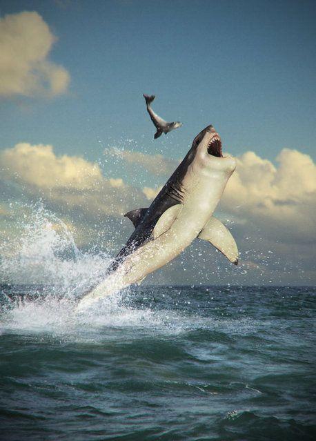 魚を狩るホホジロザメ