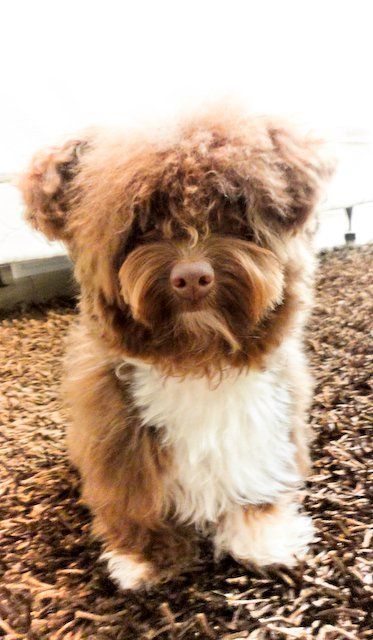 177118197815490520 furthermore Pugapoo likewise Caniche 234162 likewise 1469897 additionally Dog Breeds That Live The Longest 2014 9. on poodle mix