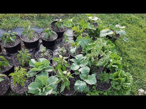 Instruktaz Uprawa Warzyw W Donicach Pomidor Burak Salata Kapusta Seler I Nie Tylko Youtube Planting Hydrangeas Plants Hydrangea