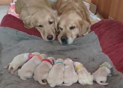 Filmmaterial Zeigt Entzuckende Golden Retriever Mama Und Papa Die Uber Ihre Neugeborenen Welpen Wachen Die En Newborn Puppies Golden Retriever Mom Puppies