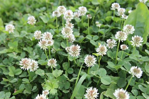 Someone has put weed killer on all of the clover I planted: clover planted to replace the native clover patches that were killed. But why plant clover? It *brings in bees to help pollinate garden vegetables *fixes nitrogen in poor soil, helping garden plants *survives droughts and heavy shade *draws good insects that kill pests.