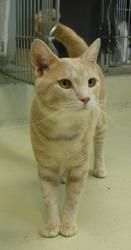 Marley is an adoptable Domestic Short Hair - Buff Cat in Chestertown, MD.  ...