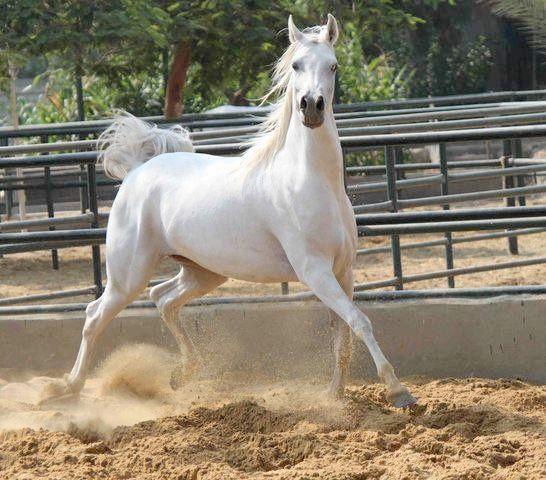 الخيول العربية أصالة وجمال ورشاقة صور بوابة الأهرام Horses Arabian Horse Arabians