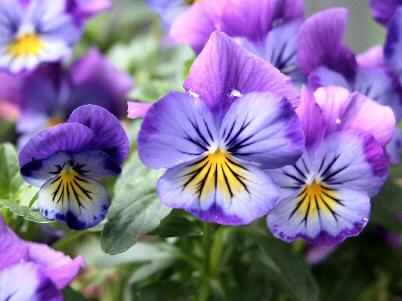 Violets for my tattoo idea