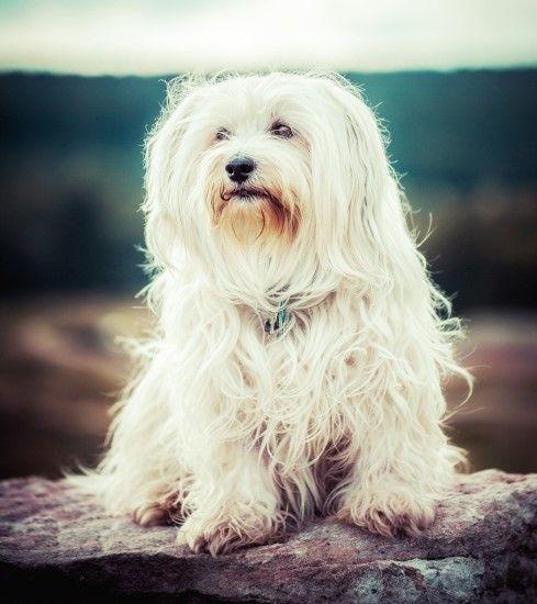 Havaneser Rasseportrait In 2020 Havaneser Havaneser Hund Hunderassen