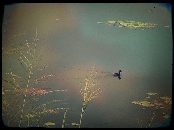 AJ's Photos - a lil duck in a lake