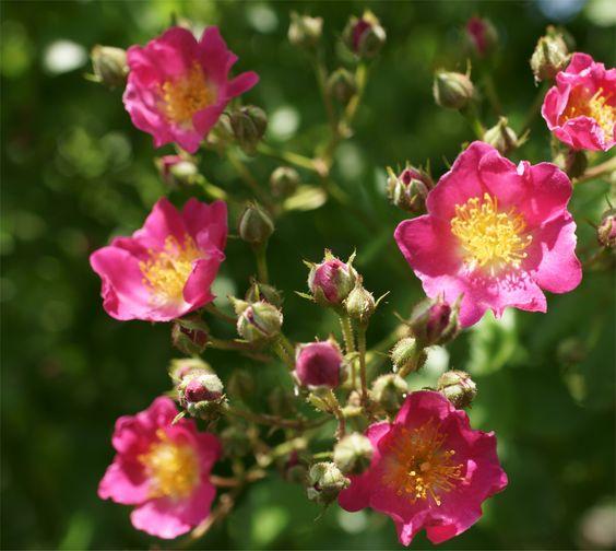 Das wird was...hunderte dieser Blüten an unserem Strauch warten auf GO!