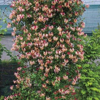 A well patio and climbing on pinterest - Climbing plants that produce fragrant flowers ...