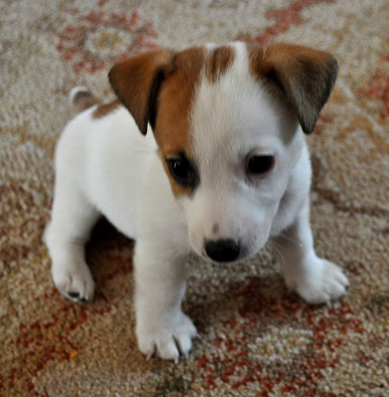 llbwwb:  Todays Cuteness,for the Dog Lovers:) Jack Russell Pup (by S Hutchinson):