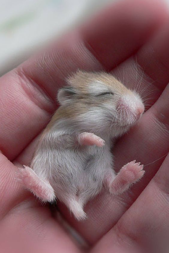 This is what a baby hamster looks like.