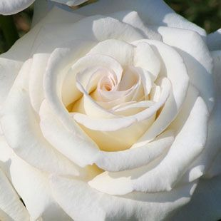 Rosa 'Secret's Out!' - creamy white flowers - sweet rose fragrance. Its compact habit makes it just right for smaller spaces - Height 3 ft. to 6 ft. - Spread 3 ft. to 6 ft.