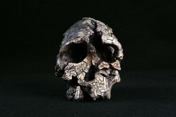 kenyanthropus platyops skull - Google Search