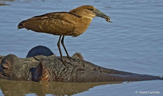 Hamerkop (Scopus umbretta) Hammerkop on Hippo's head with a frog