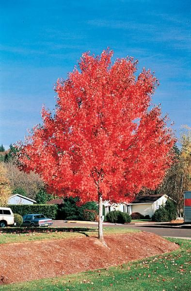 Gorgeous In Every Season This Tree Looks Great All Year Round Producing Small Red And Yellow Flowers In Spring M Red Sunset Maple Red Sunset Red Maple Tree