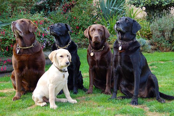 Labrador Retrievers in different colours