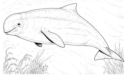 Beluga whale coloring page Coloring