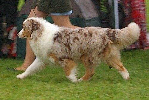 Non Docked Tail Australian Shepherd Australian Shepherd Dogs