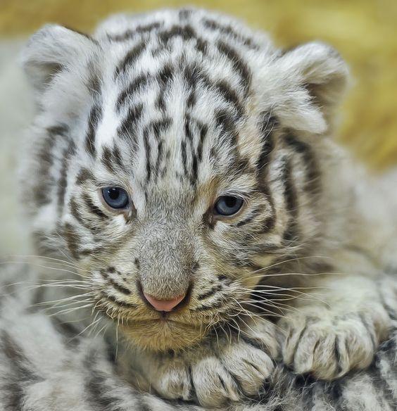 Image Gallery nevados tigres bebes