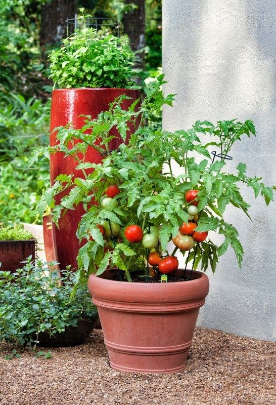 How To Plant A Garden Potted Tomato Plants Organic Gardening