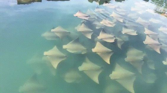 School of cow-nosed rays.