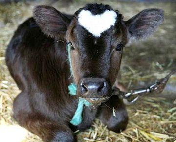 Little Calf with a Heart Head