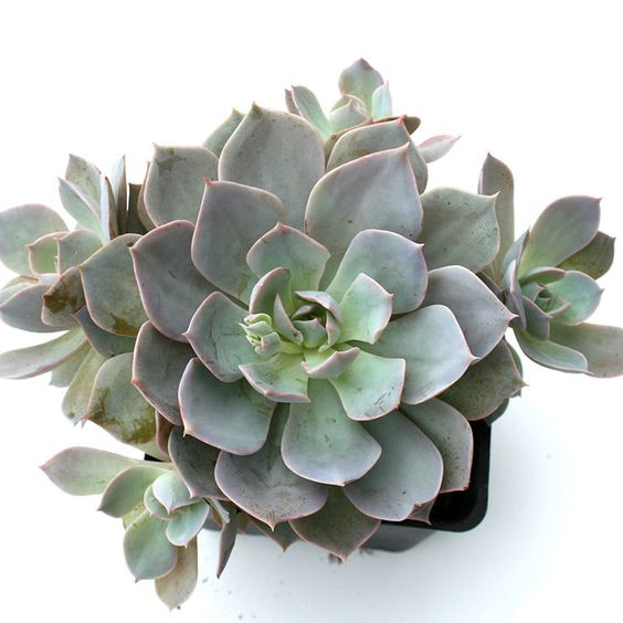Echeveria in a potted plant. Classified by thick-leaved rosettes that are fleshy and have a waxy appearance.