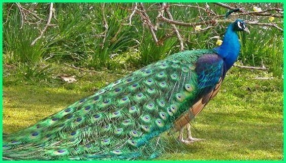 Jenis Burung Merak Ternyata Hanya Ada 3 Di Dunia Ekor9 Com Peacock Digital Marketing Blues