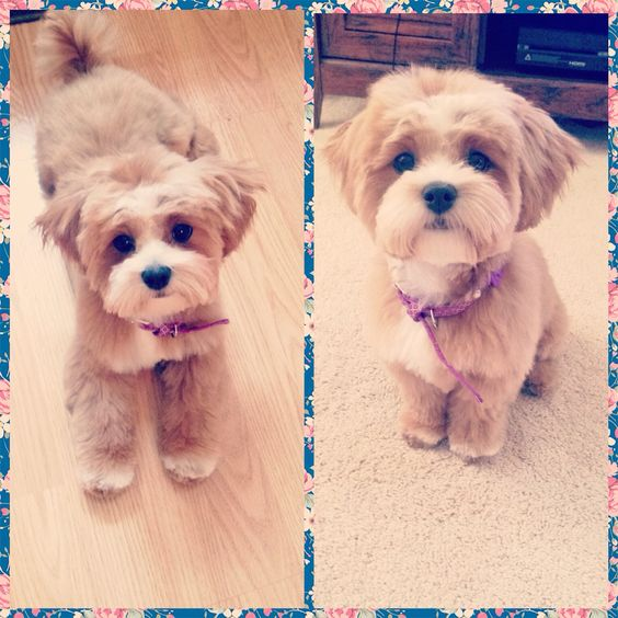 The cutest Shihpoo in the world ❤️