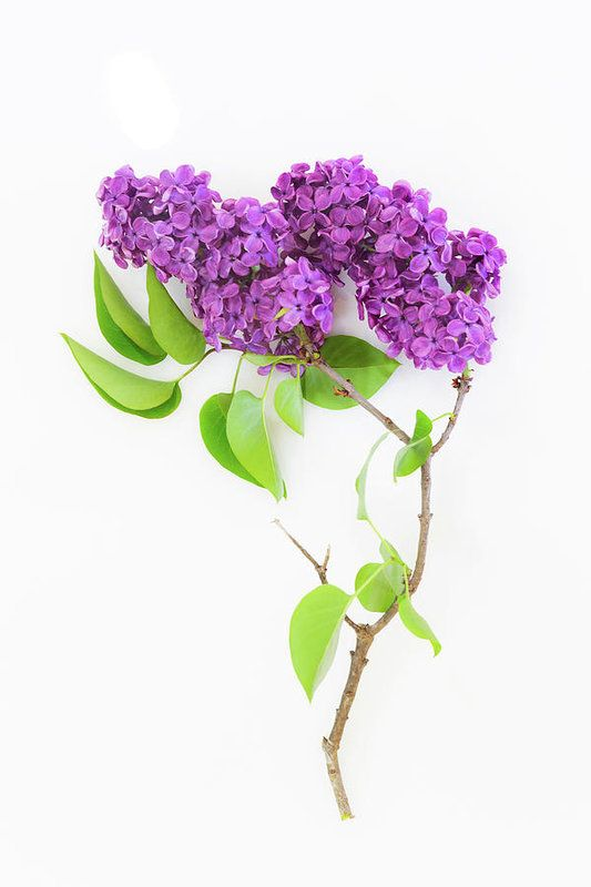 Purple Lilac Simple Still Life On White Background Art Print By Debbie Lund White Background Photography Still Life Flowers Flower Photography Art