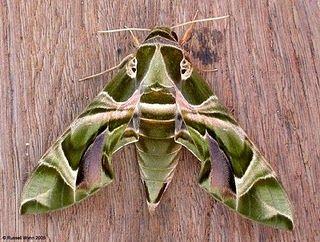 Wow what a moth.