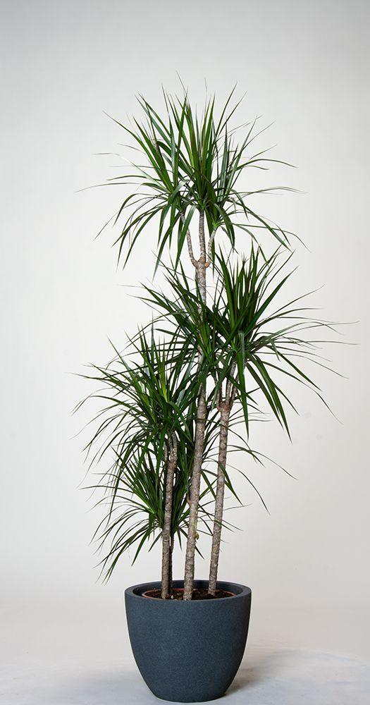 Drachenbaum Marginata Drachenbaum Zimmerpflanzen Ideen