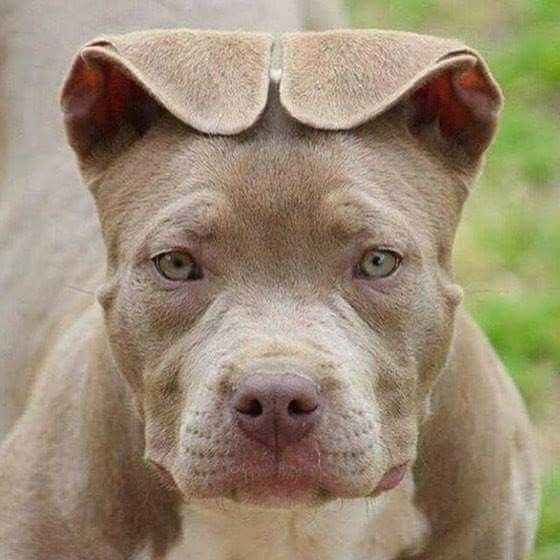 Floppy Ears The Way They Should Be Pitbull Terrier