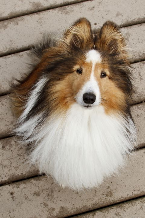 40 Best Medium Sized Dogs Smartest Dog Breeds Shetland Sheepdog
