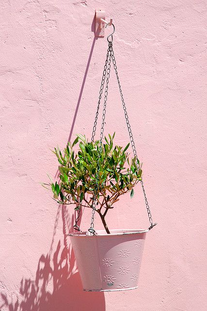 How to grow an olive tree in a container even in a lower for Growing olive tree indoors