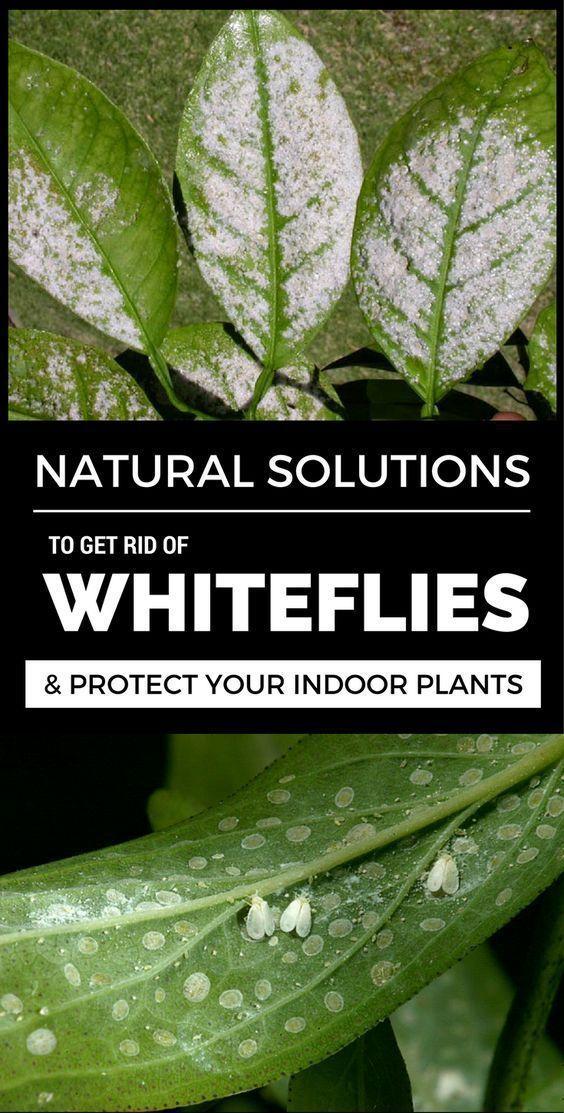1e2e6fe3376c230110b17704317a1542 - How To Get Rid Of Small White Bugs On Plants