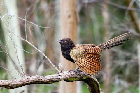 Geoff Walker: Pheasant Coucal