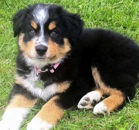 Want to appear young? Go here Right now: http://bit.ly/HzgxSA ..Australian Shepherd Puppy
