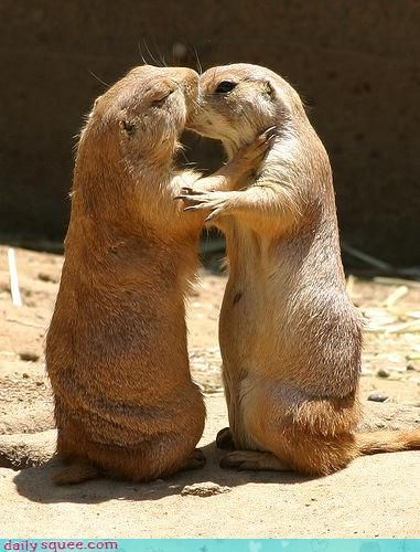 This is how Prairie Dogs greet each other...TRUE: 3Prairiedogs 3, Animals Pets, Kisses Animals, Pets And Animals, Baby Animal, Prairiedog Animallovers, Animals Photos
