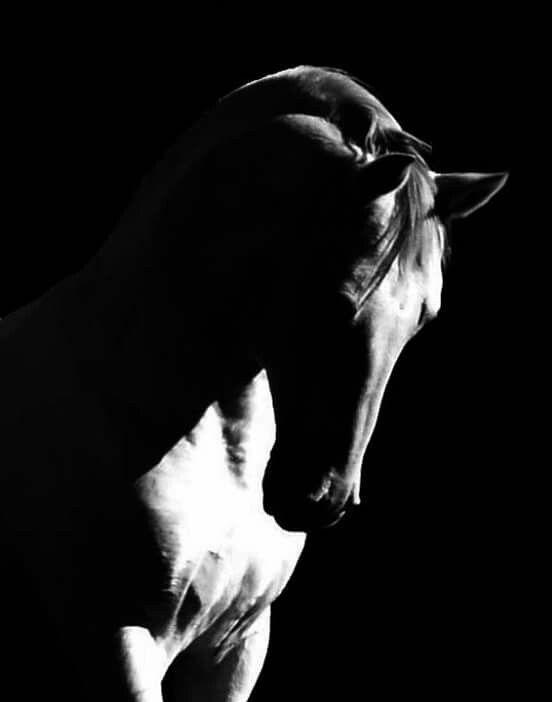 Gorgeous contrast in this black and white photo. Lipizzan Stallion