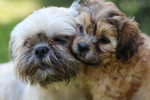 Pin On Teacup Shih Tzu Puppies
