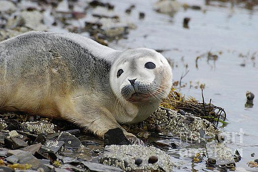 Curious Harbor Seal Pup by DejaVu Designs