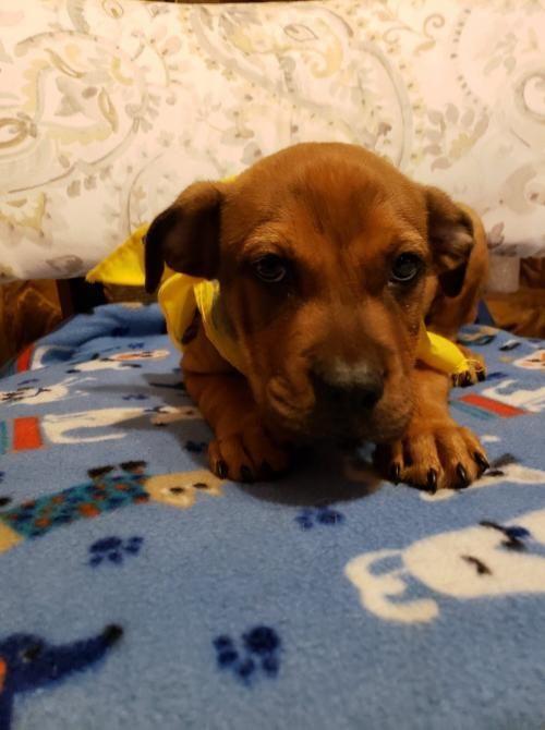 Adopt Manny On Labrador Retriever Pet Adoption Pets