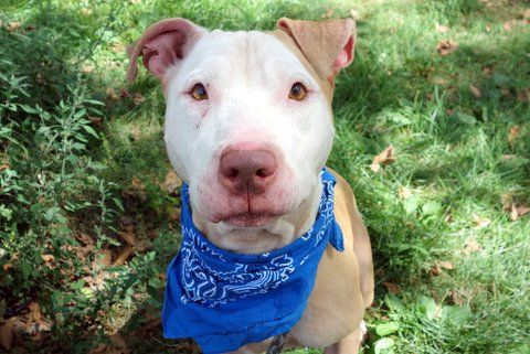 ACE aka JAY - A1087144 - - Manhattan  Please Share:TO BE DESTROYED 09/06/16**AVERAGE RATED!**A volunteer writes: Remember cats eye marbles? That's what Ace's eyes remind me of – clear amber, sharp, and to be treasured as the best in the group. I loved my time with this gentle boy. He's gorgeous, a vanilla face on top of his caramel body remind me of an ice cream cone, to be savored on a hot humid day, or any day for that matter. He's great on l
