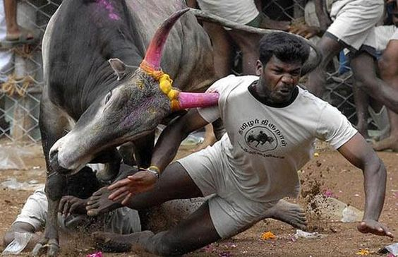 Tamil people on pongal tame ferocious bulls with bare hands risking their life.